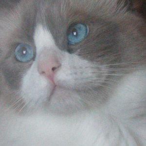 blue bicolor face