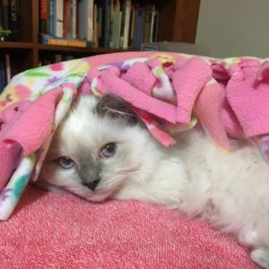 Blue Point Ragdoll Kitten under blanket