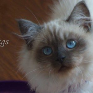 Three Month Old Ragdoll Kitten