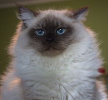 Seven Month old Ragdoll Kitten