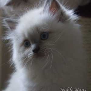 Five week old Ragdoll kitten