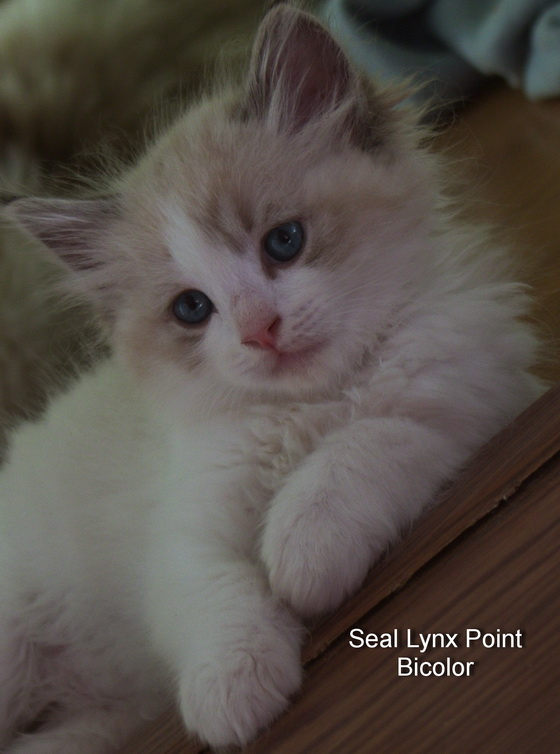 Seal Lynx Point bicolor Ragdoll kitten