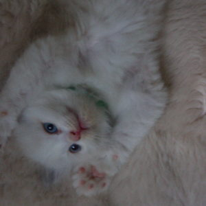 blue bicolor Ragdoll kitten on back