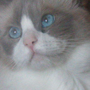 Blue Bicolor Ragdoll two years old