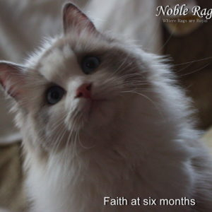 Blue bicolor Ragdoll six months old