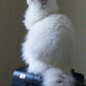 Blue bicolor Ragdoll on printer