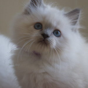 blue mitted flirt for maryann page
