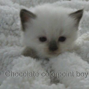 chocolate colorpoint boy