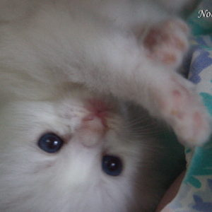 Blue Bicolor baby Ragdoll kitten