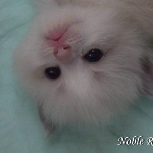 Noble Rags Ragdoll Kitten