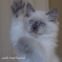 Blue Point Ragdoll kitten